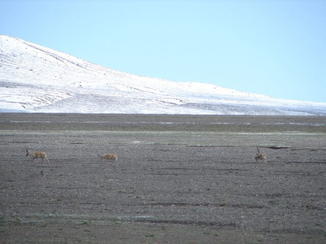 3 chiru on the plains. There is a snowy mountain in the background.