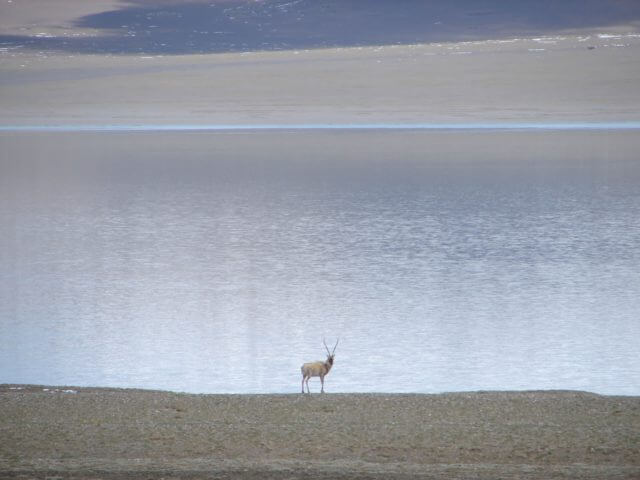 A lone chiru stands on the shore of a lake, looking back toward the camera.