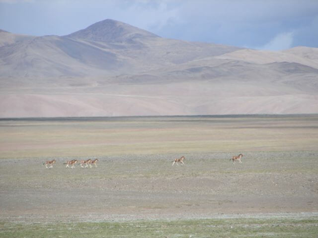 A small group of 7 wild donkeys can be seen running on the plains, in front of a barren mountain.