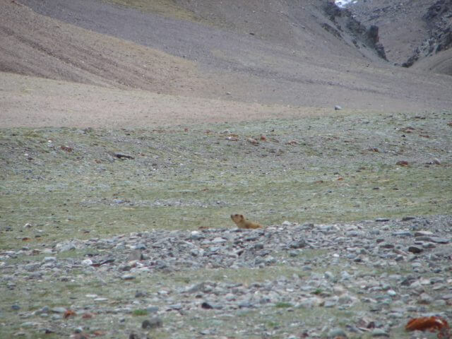 A marmot lifts its head, sitting at the base of a steep slope.