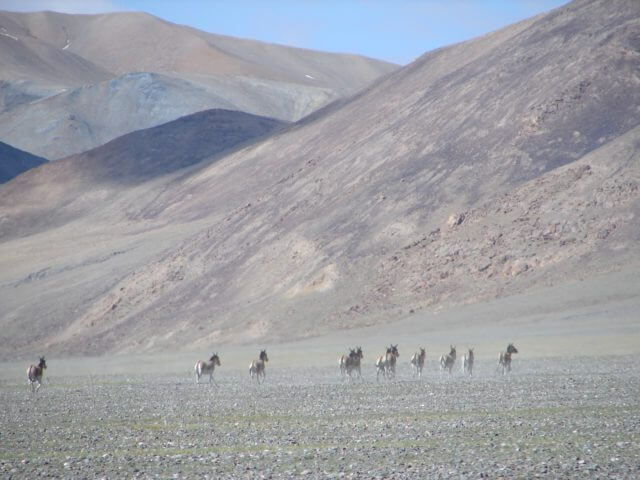 A group of wild donkeys running at the foot of a mountain range.