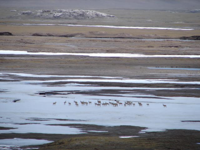 A herd of chiru gathers together in the patchy snow on the plains.