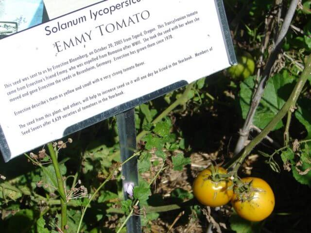 A tomato plant and a sign describing the story of its origin.