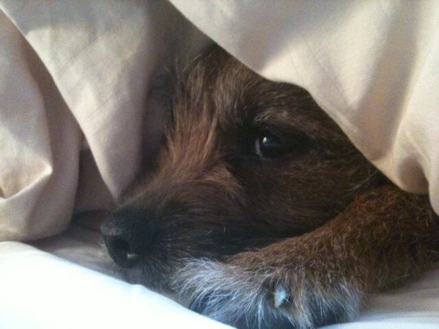 A border terrier is laying down under a sheet.
