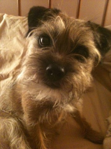 A border terrier looks inquisitively at the camera.