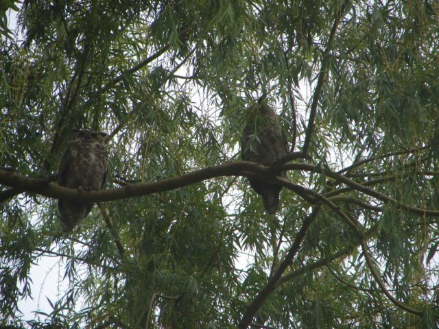 Owls sit on a branch